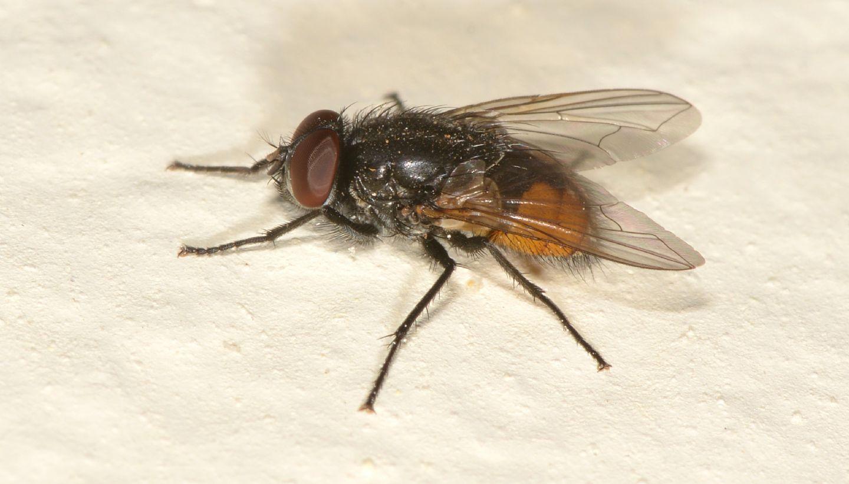 mosca ?