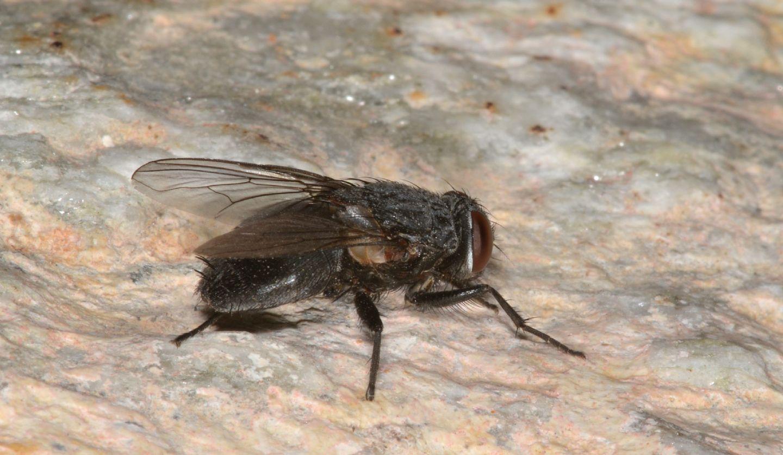 Muscidae: Muscina pascuorum