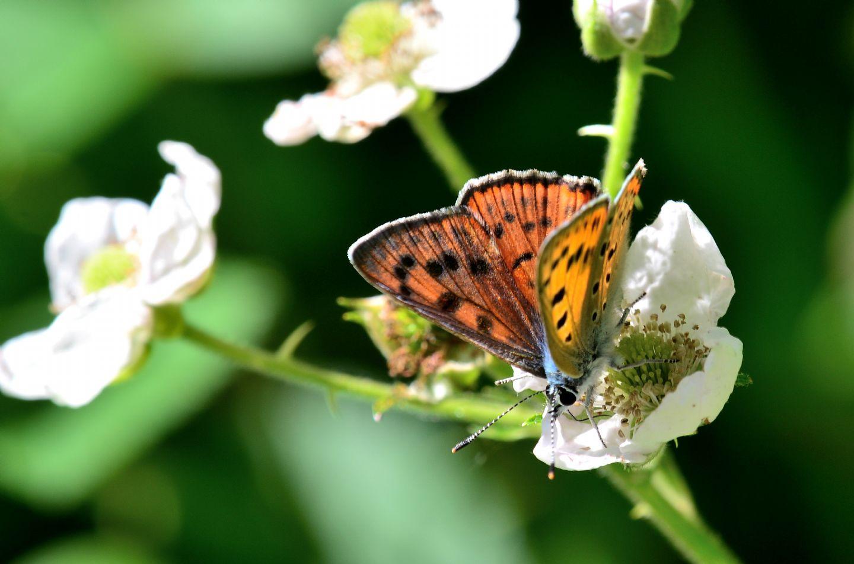 altro Lycaenidae: Lycaena alciphron