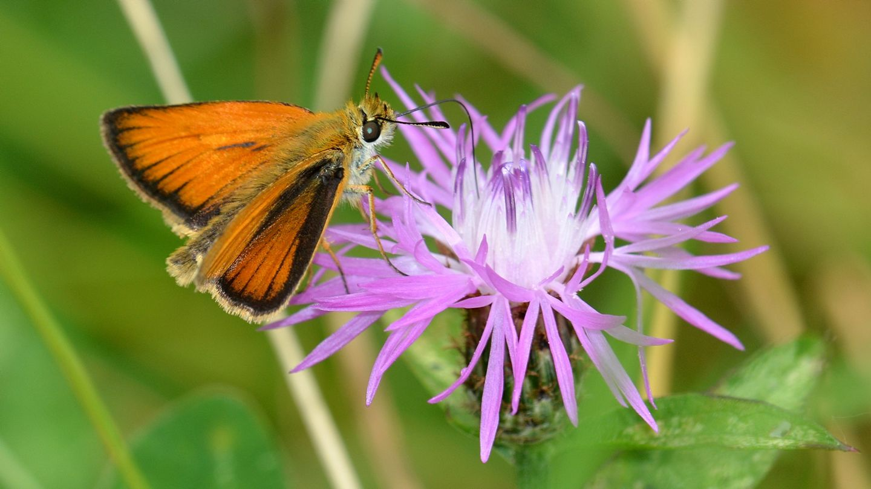 Che specie ? Hesperiidae: Thymelicus lineola