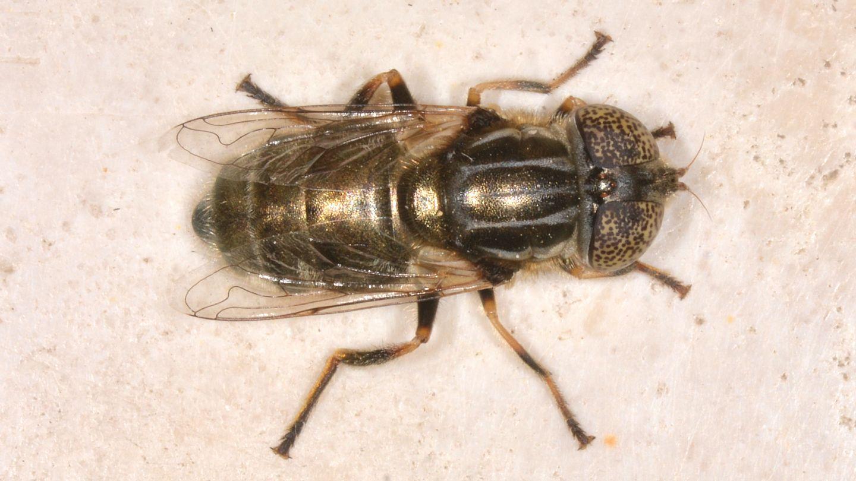 Quale Eristalinus ? E. cf. aeneus femmina