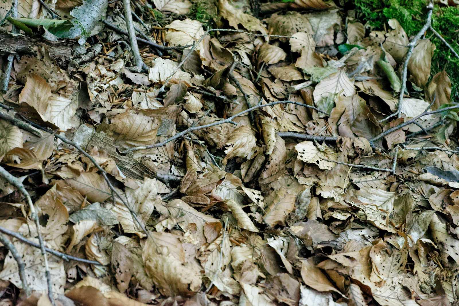 Identificazione rana... mimetica - Rana dalmatina