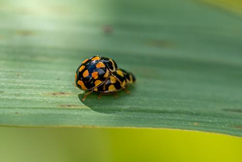Coccinellidae: Propylea quatuordecimpunctata