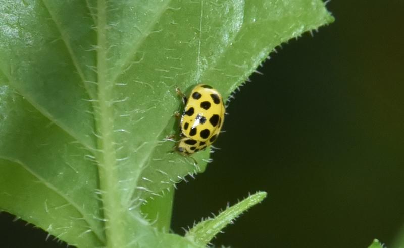 Coccinellidae: Psyllobora vigintiduopunctata