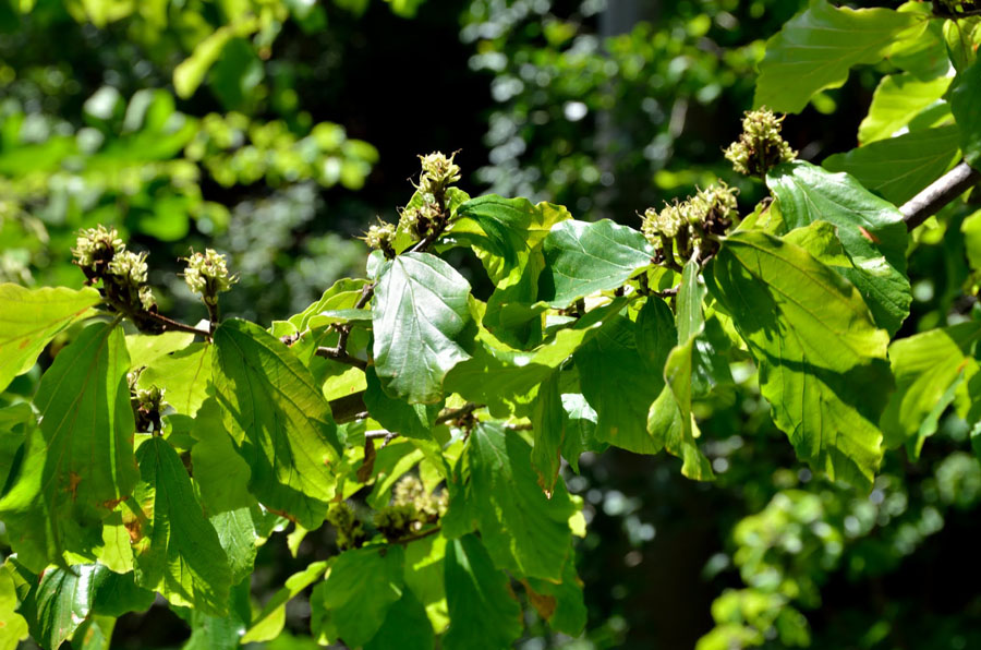 Parrotia persica (Hamamelidaceae)