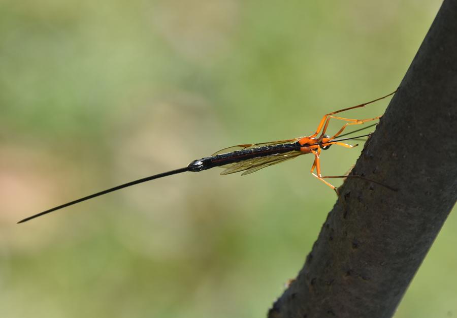 Ichneumonidae? Sì,  Dolichomitus sp. (cfr.)