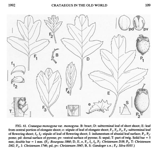 Crataegus monogyna o suo ibrido (C. x media)