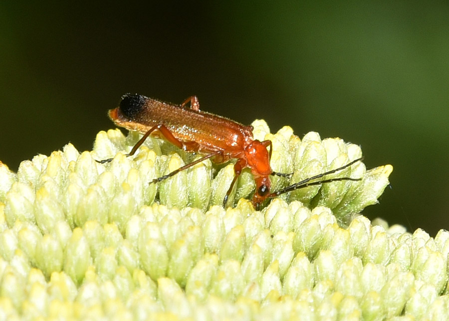 Cantharidae: Rhagonycha fulva