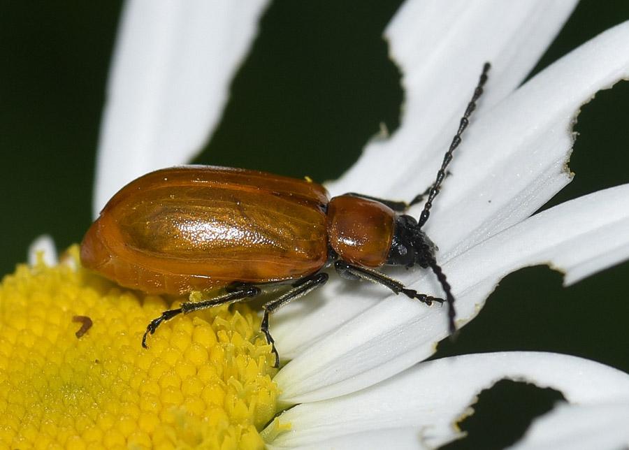 Cantharidae ?  No, Chrysomelidae: Exosoma lusitanicum