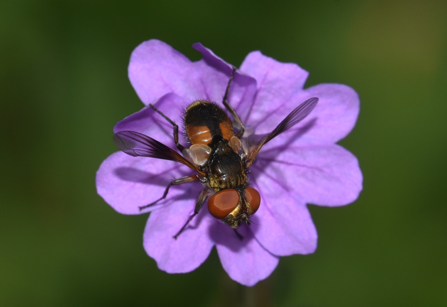 Tachinidae  Ectophasia crassipennis ?  Sì !