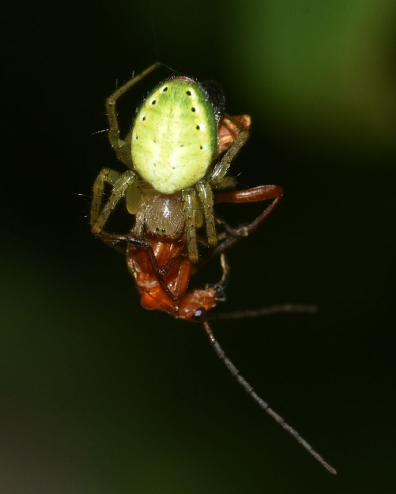 Araniella cfr. cucurbitina - Robilante (CN)