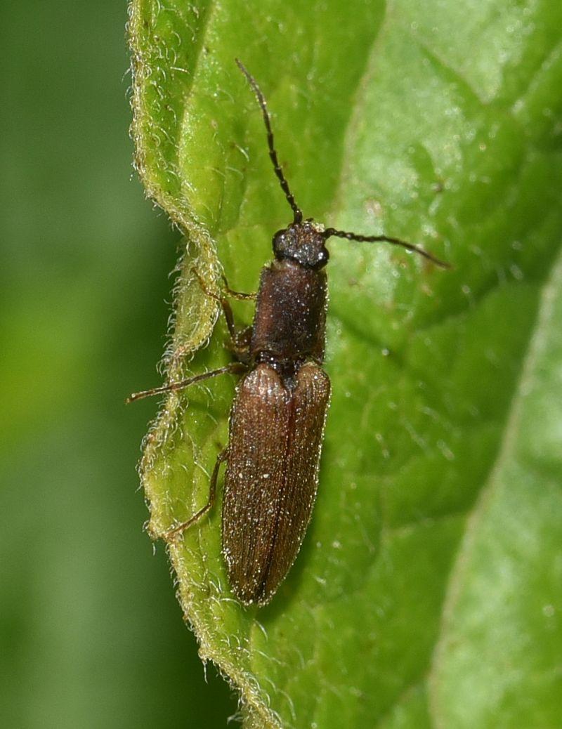 Elateridae:  Athous subvirgatus? No, Athous bicolor