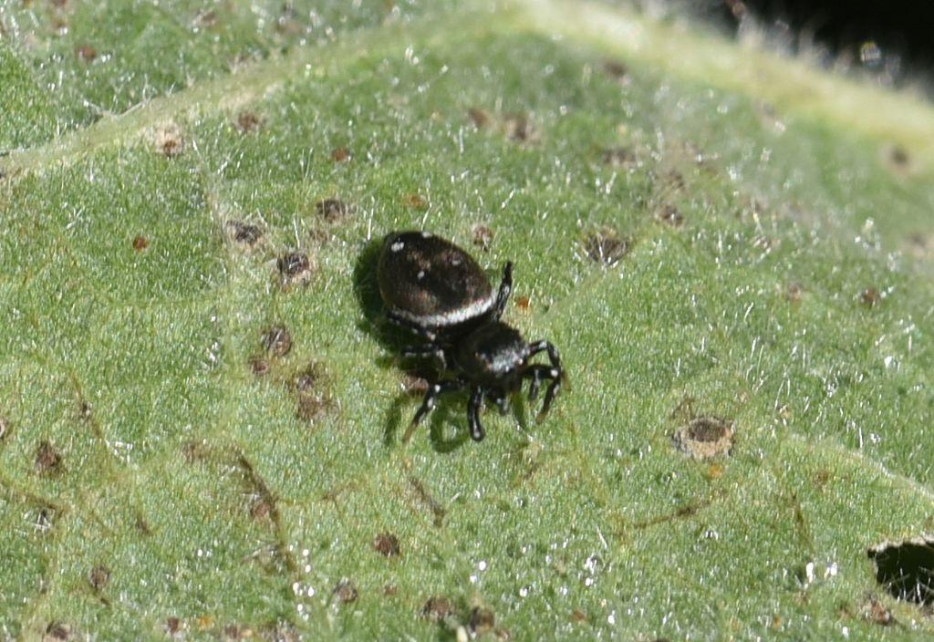 Heliophanus cfr. kochii - Robilante (CN)
