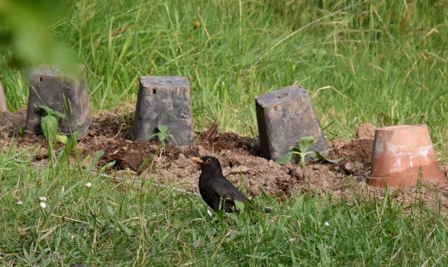 Come dissuadere i merli ed allontanarli dal mio giardino forum natura mediterraneo forum - Allontanare i gatti dal giardino ...