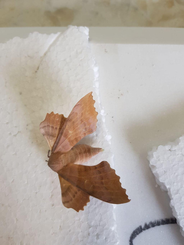 Falena da identificare: Laothoe populi - Sphingidae