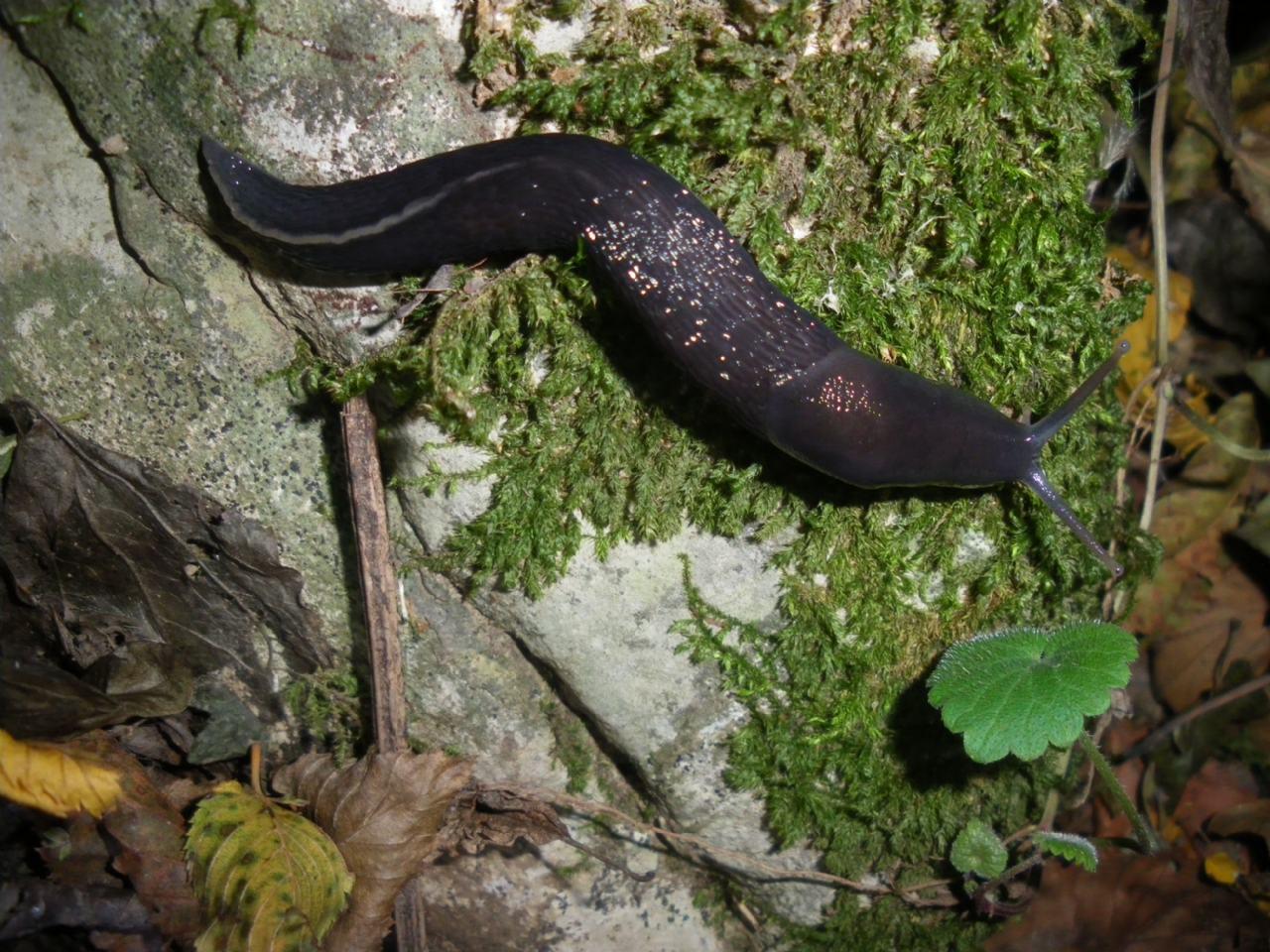 Limax aldrovandi Moquin-Tandon 1855 della comune di Montemurlo (PO)