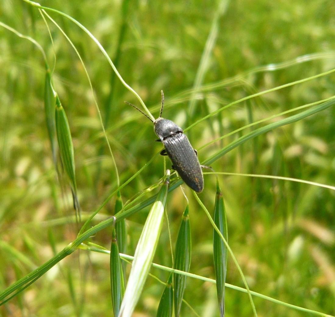 Elateridae: cfr. Cidnopus sp.