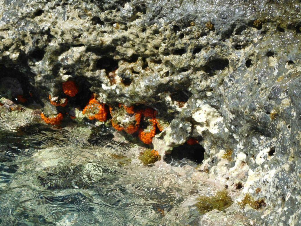 Cnidaria da Ponza: Astroides calycularis
