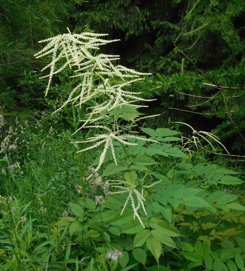 Aruncus dioicus  (Rosaceae)