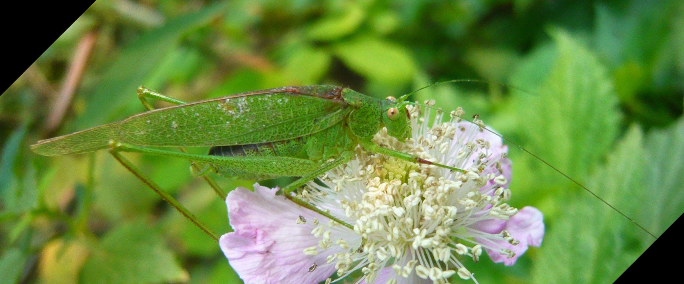 Phaneroptera sp., maschio