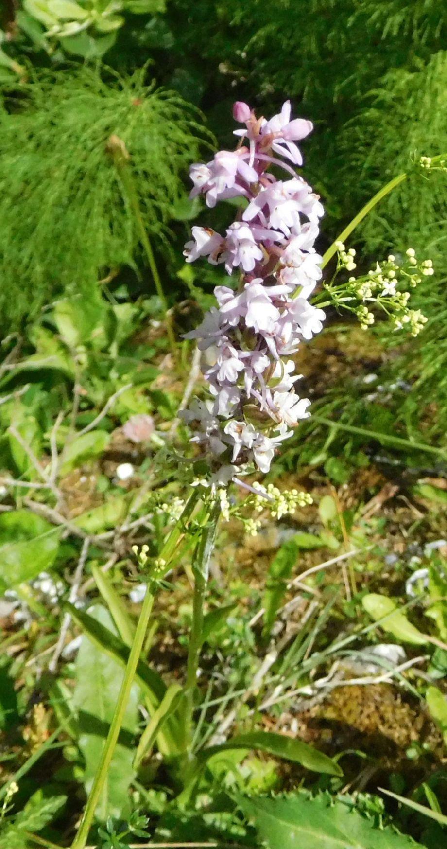 orchidea da determinare  24mar20