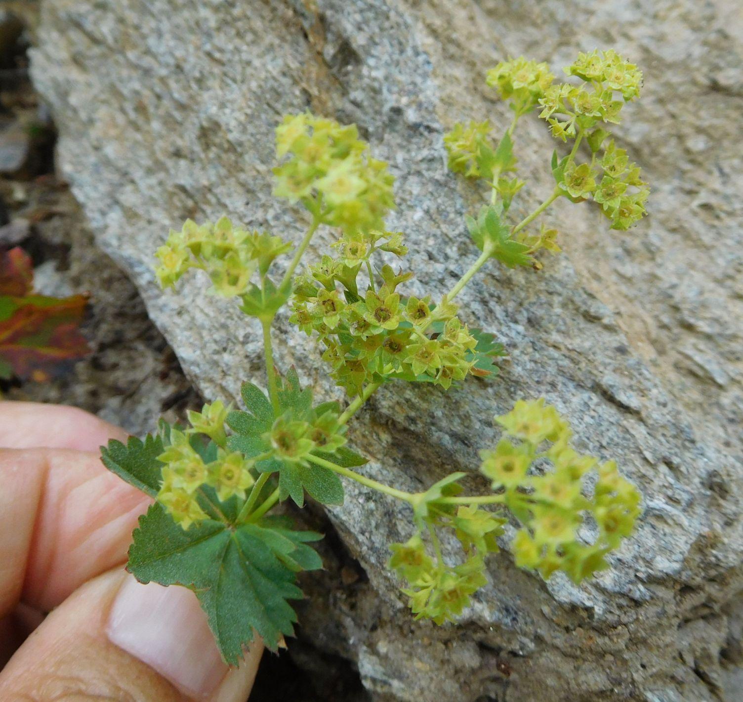 Alchemilla sp. (Rosaceae)
