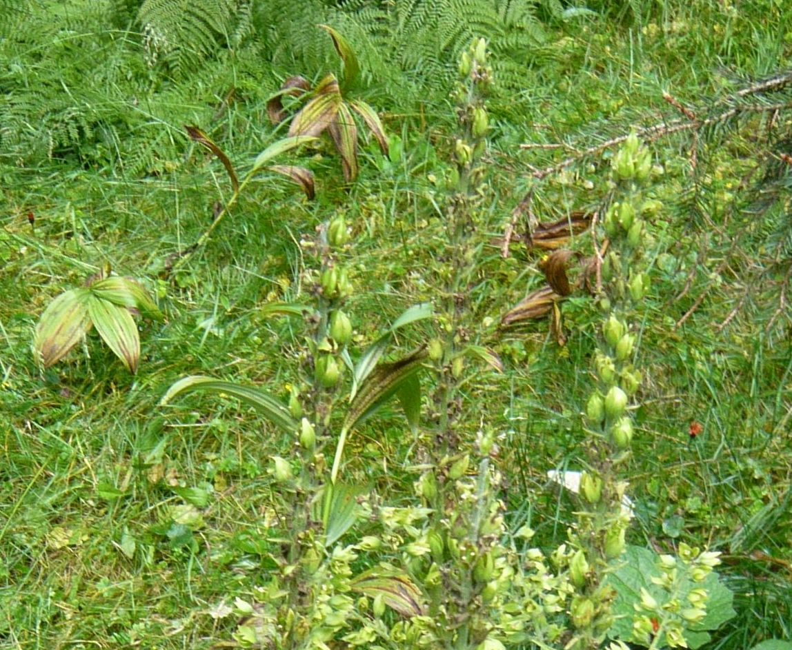 Veratrum album  (Melanthiaceae)