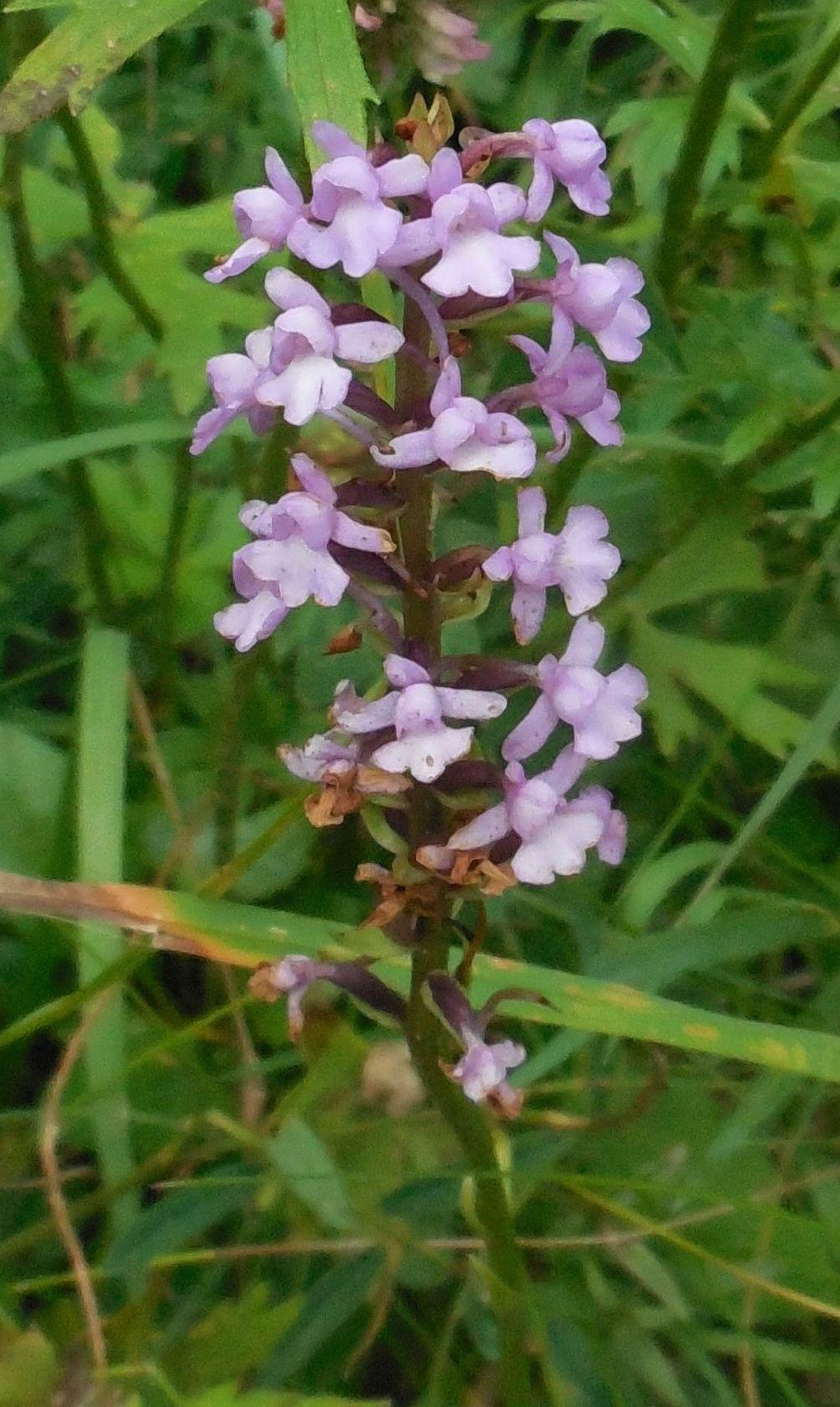 orchidea da determinare  6apr20