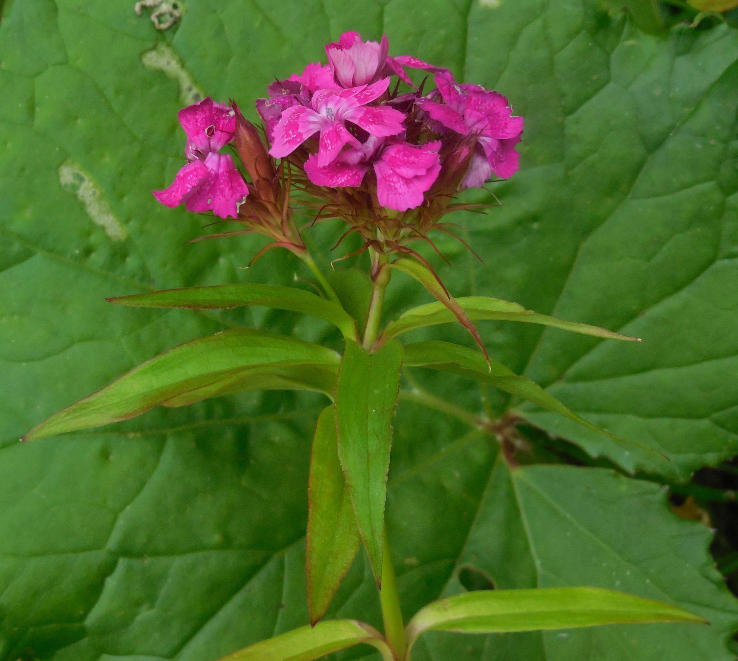 Dianthus barbatus / Garofano barbato