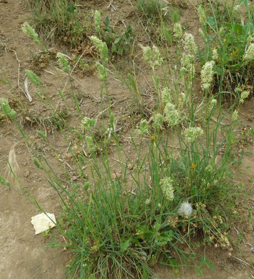 Dactylis glomerata (Poaceae = ex Graminaceae)