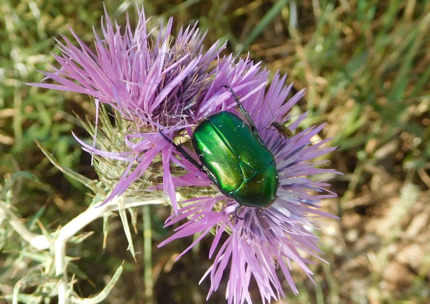 Chrysomelidae (?):  No. Cetoniidae, Cetonia aurata pisana