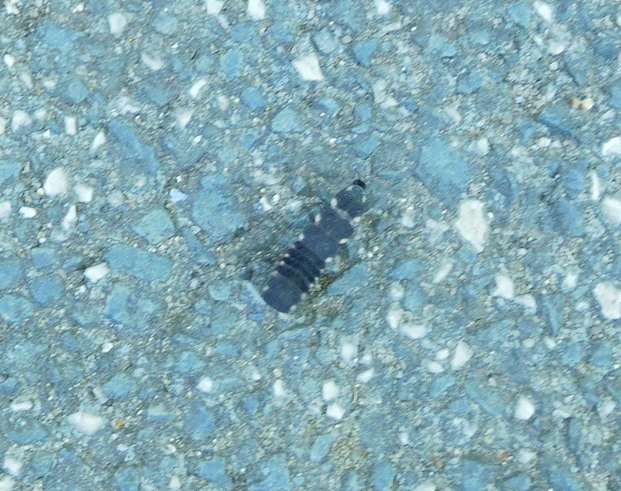 Lampyridae: larva