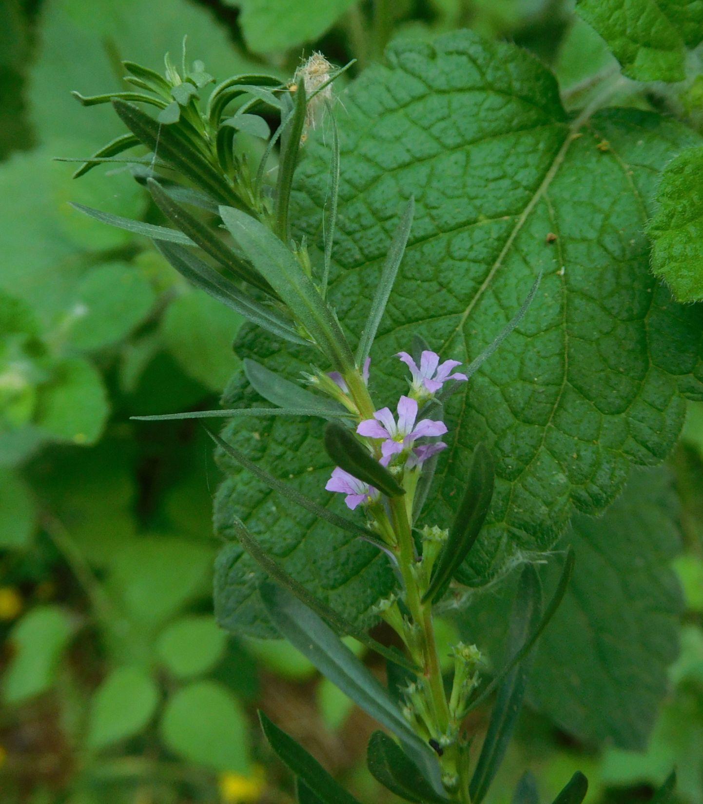 Lythrum cfr. junceum (Lythraceae)