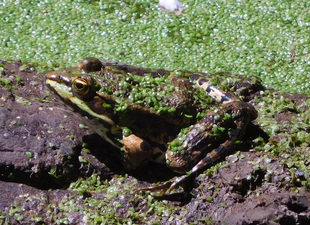 rospo da determinare 21giu20 - Rana verde Pelophylax sp. (Roma)