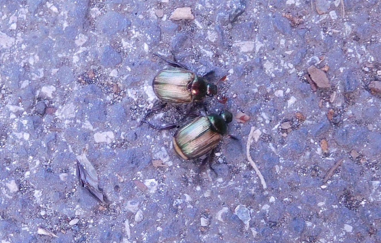 Coppia di coleotteri da determinare 22giu20: Mimela junii