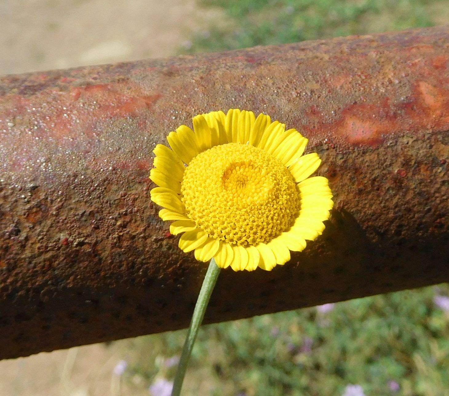 Asteraceae: Cota tinctoria