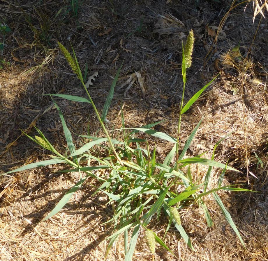 Poaceae:  Setaria sp.