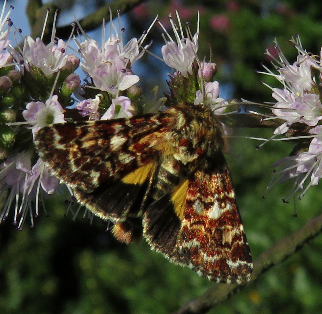 da identificare (Esperide?) No, Noctuidae: Anarta (Anarta) myrtilli