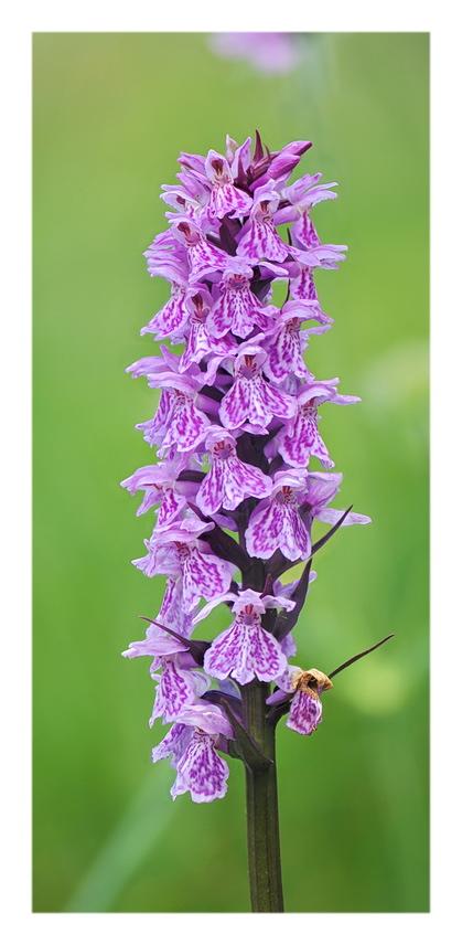 Orchidee Venete 2018 - 3