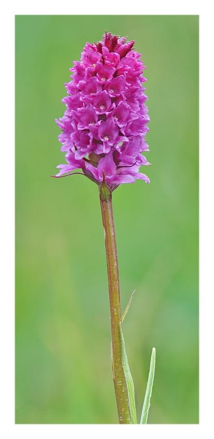 Orchidee Venete 2018 - 7