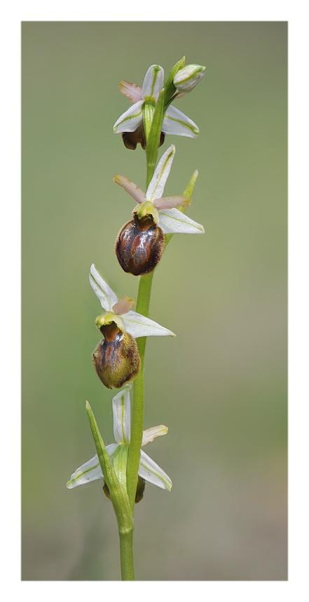 Orchidee Venete 2018 - 9