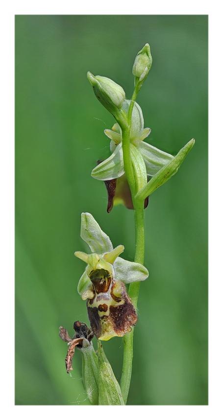 Orchidee Venete 2018 - 8