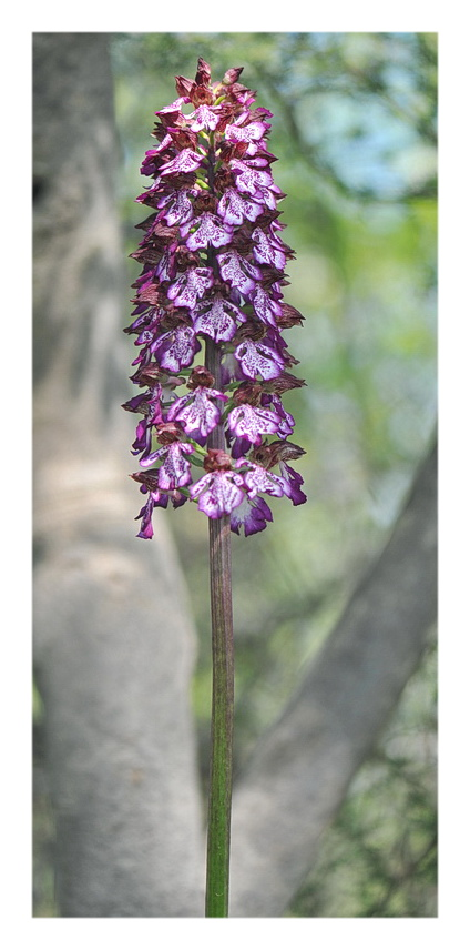 Orchidee Venete 2018 - 10