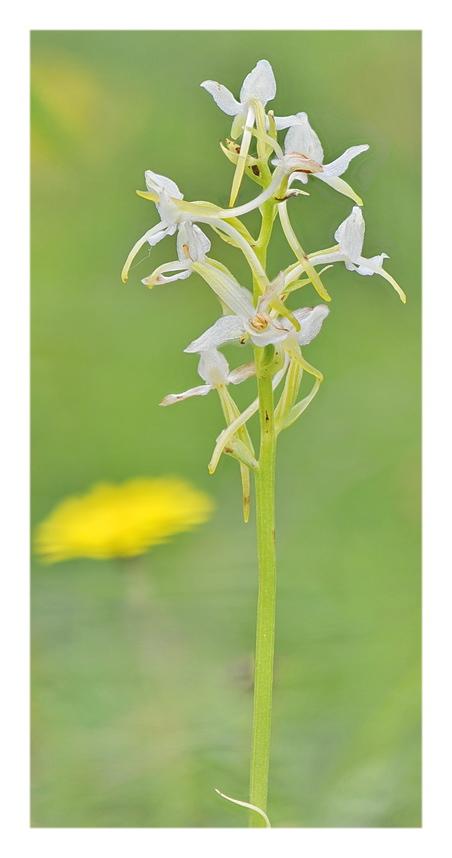 Orchidee Venete 2018 - 11