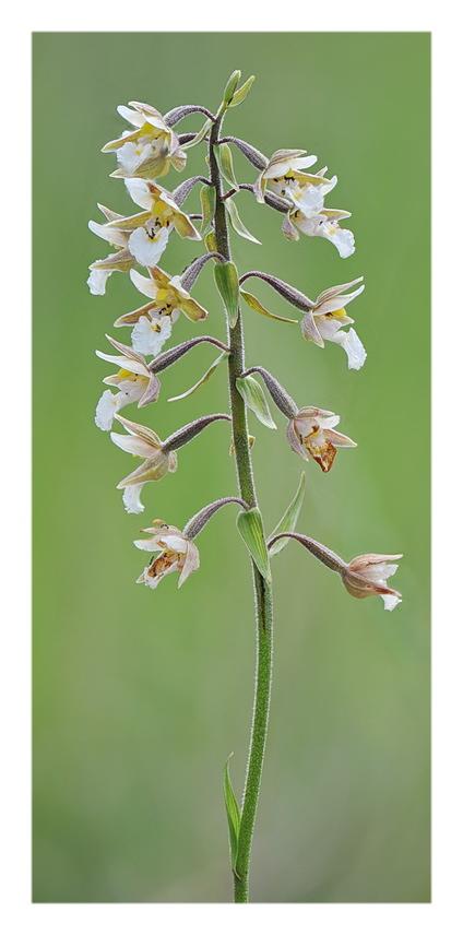 Orchidee Venete 2018 - 4