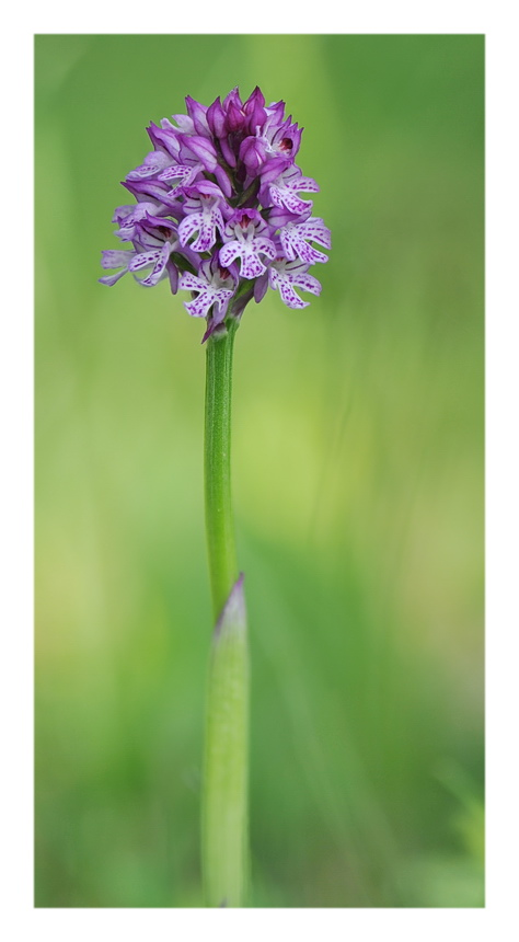 Orchidee Venete 2018 - 6