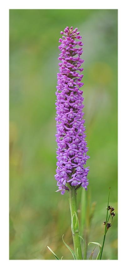 Orchidee Venete 2018 - 5