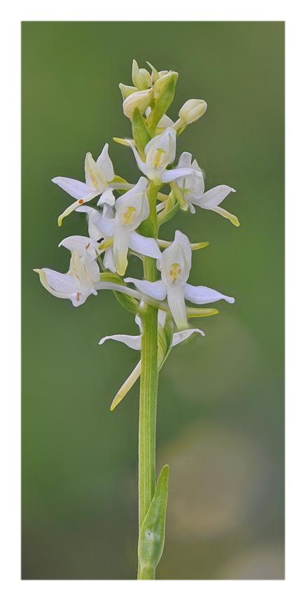 Orchidee Venete 2019 - 11