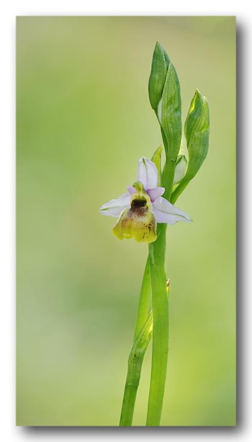 Lusus e variazioni cromatiche di Ophrys tetraloniae