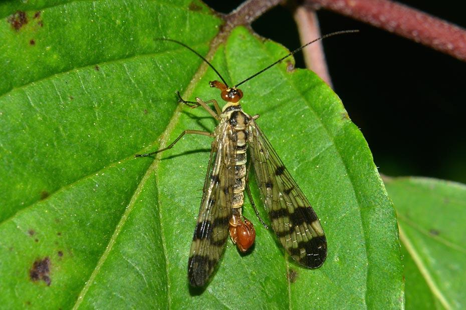 Panorpa gr. cognata, maschio e Panorpa communis,  maschio e femmina